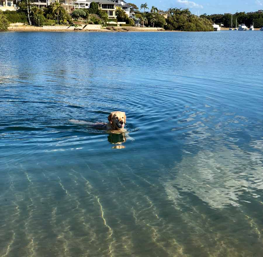 Dozer the golden retriever dog swimming rehab - therapy