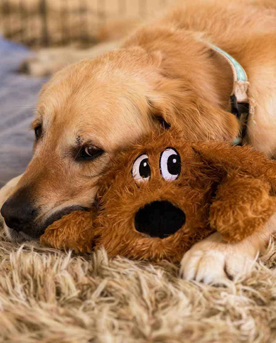 Dozer the golden retriever with a toy dog