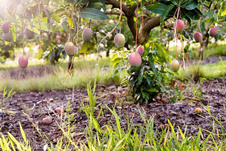 Mango trees on Groves Grown Tropical Fruits farm