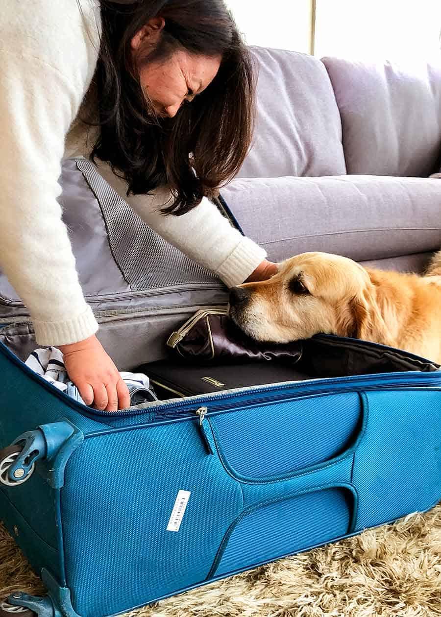 Dozer the golden retriever dog giving Nagi grief as she packs