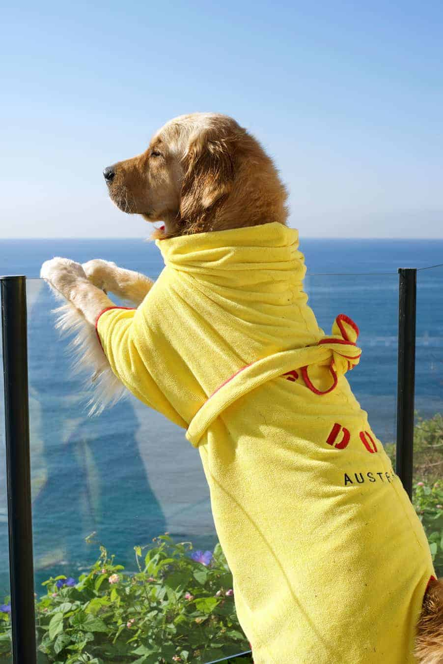 Dozer the golden retriever in robe