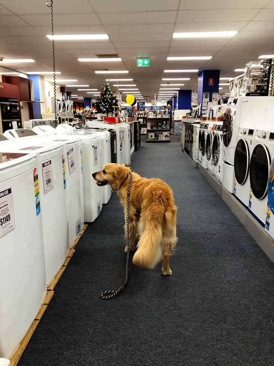 Dozer the golden retriever buying washing machine