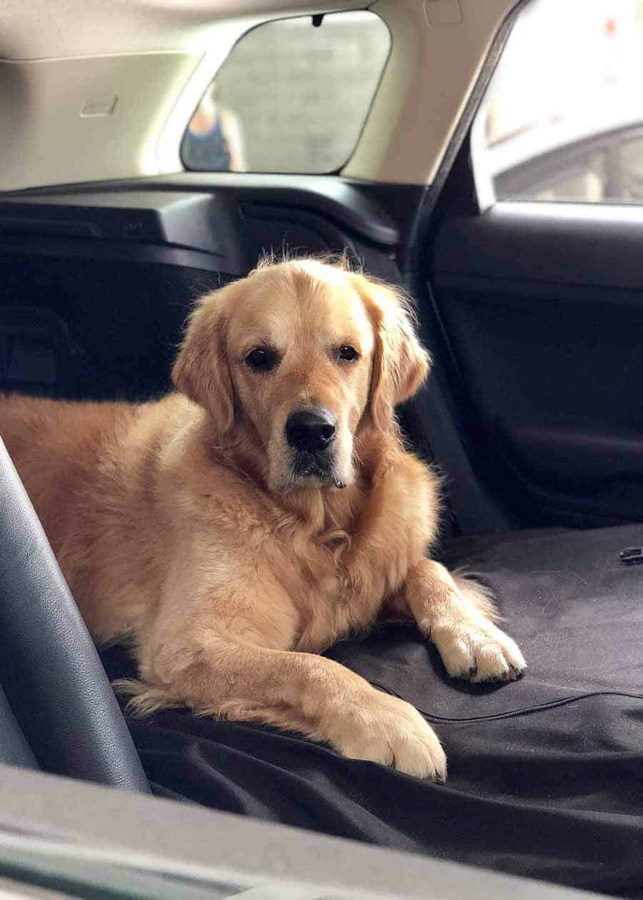 Dozer the golden retriever in a boot of a Range Rover