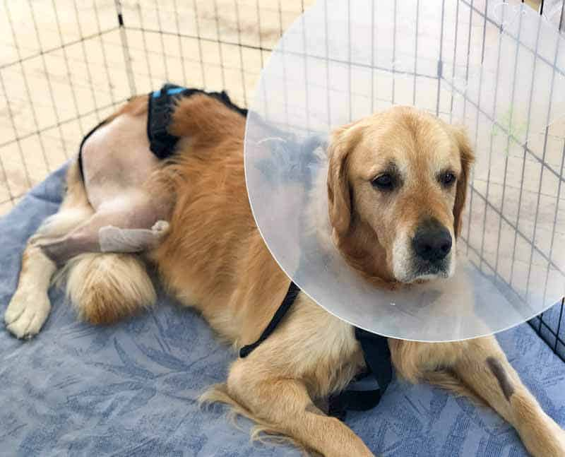 Dozer the golden retriever recovering from ACL surgery with Cone of Shame