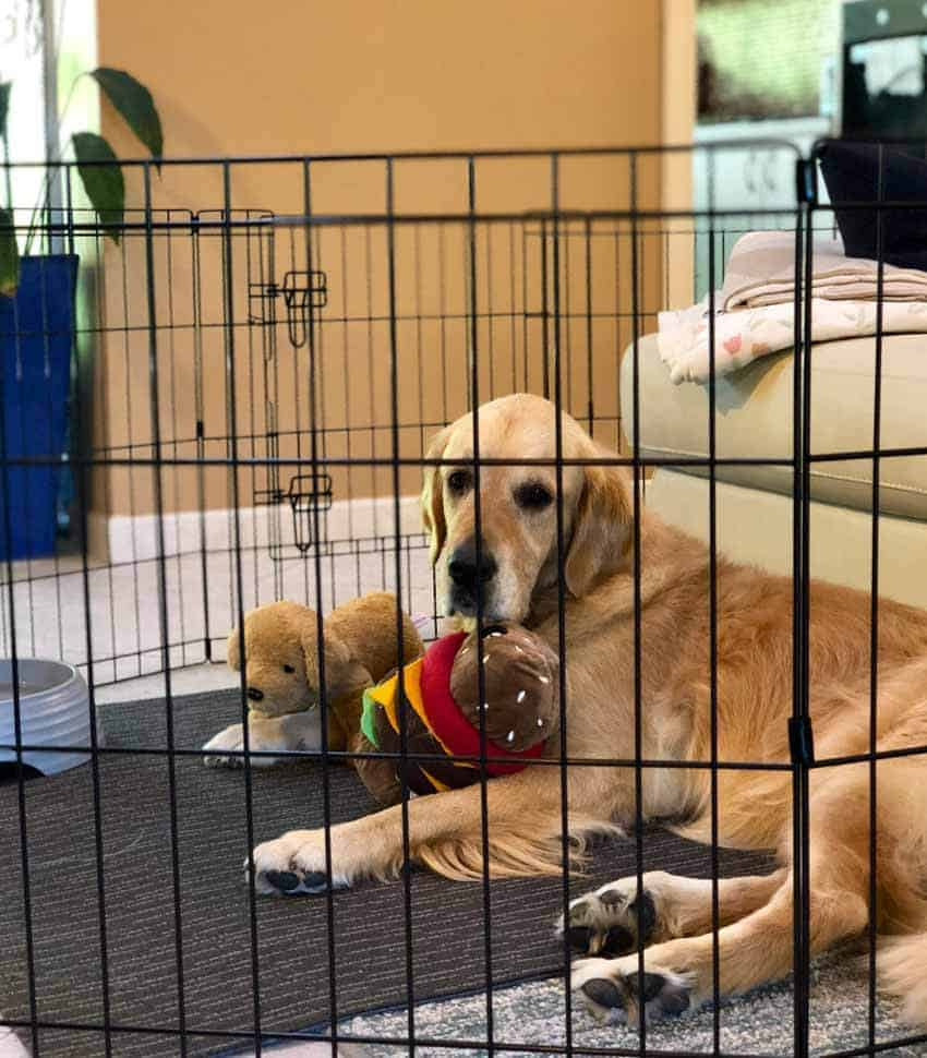 Dozer the golden retriever inside a pet play pen, on strict rest to heal ruptured ACL.