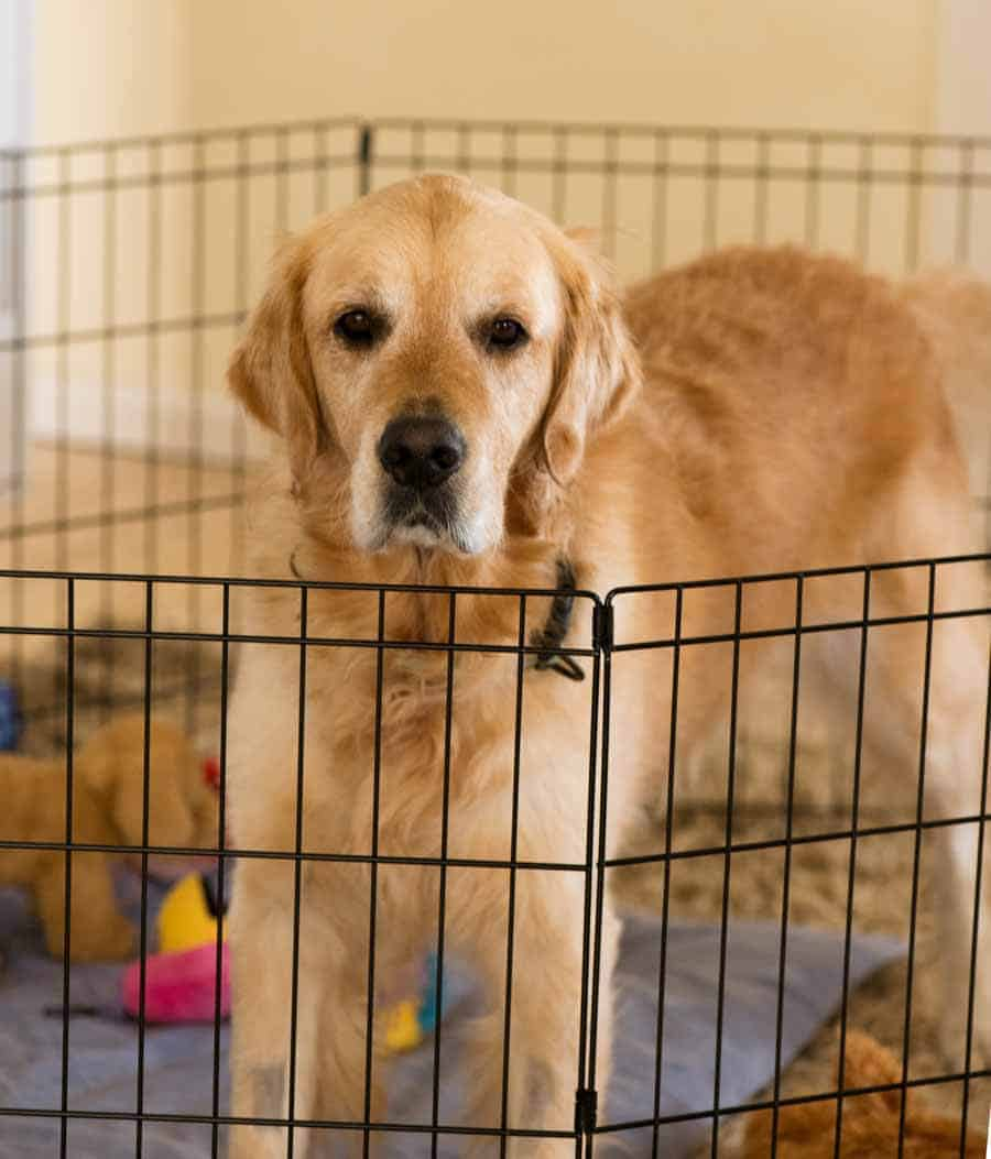 Dozer the golden retriever confined to a play pen
