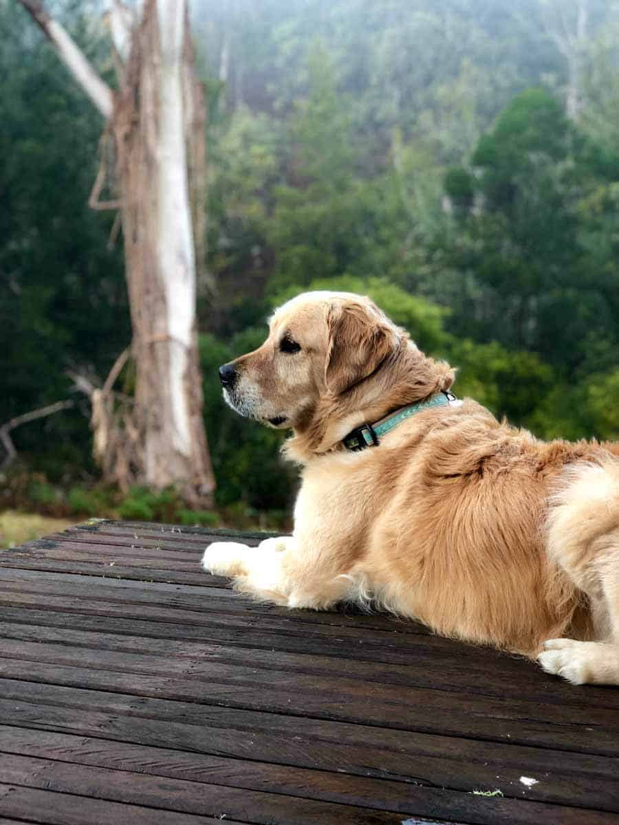 Dozer the golden retriever dog on a verandah during a misty morning