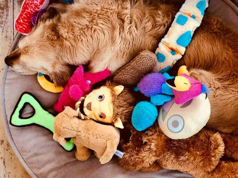 Dozer the golden retriever dog buried under toys