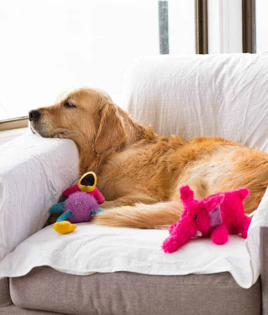 Dozer the golden retriever curled up on an armchair