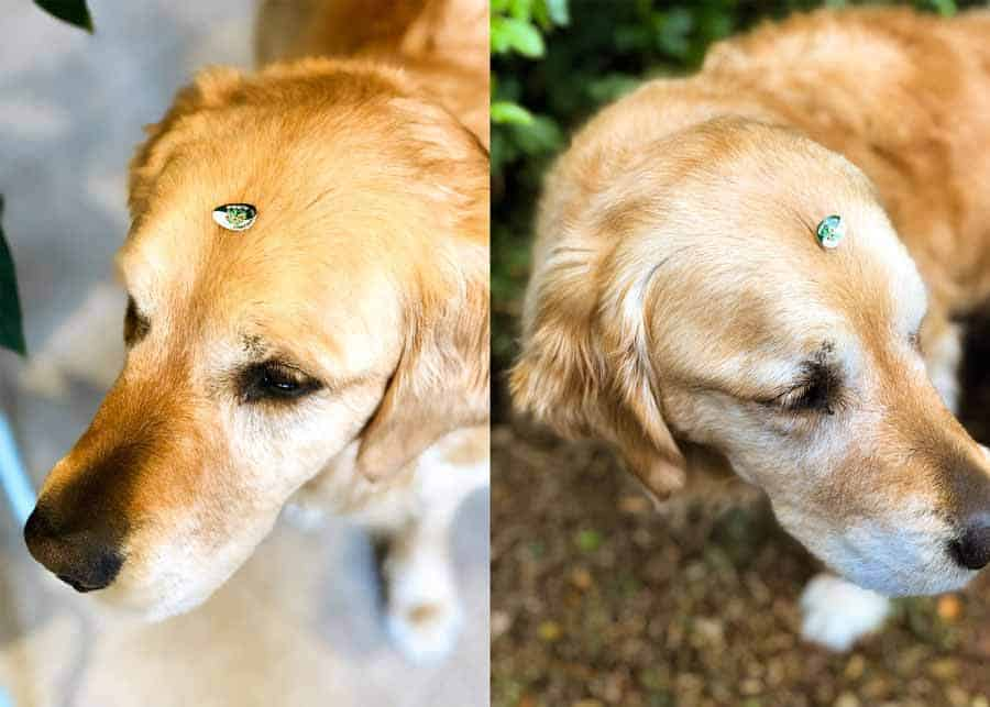 Dozer the golden retriever dog wearing apple sticker Badge of Shame for drooling