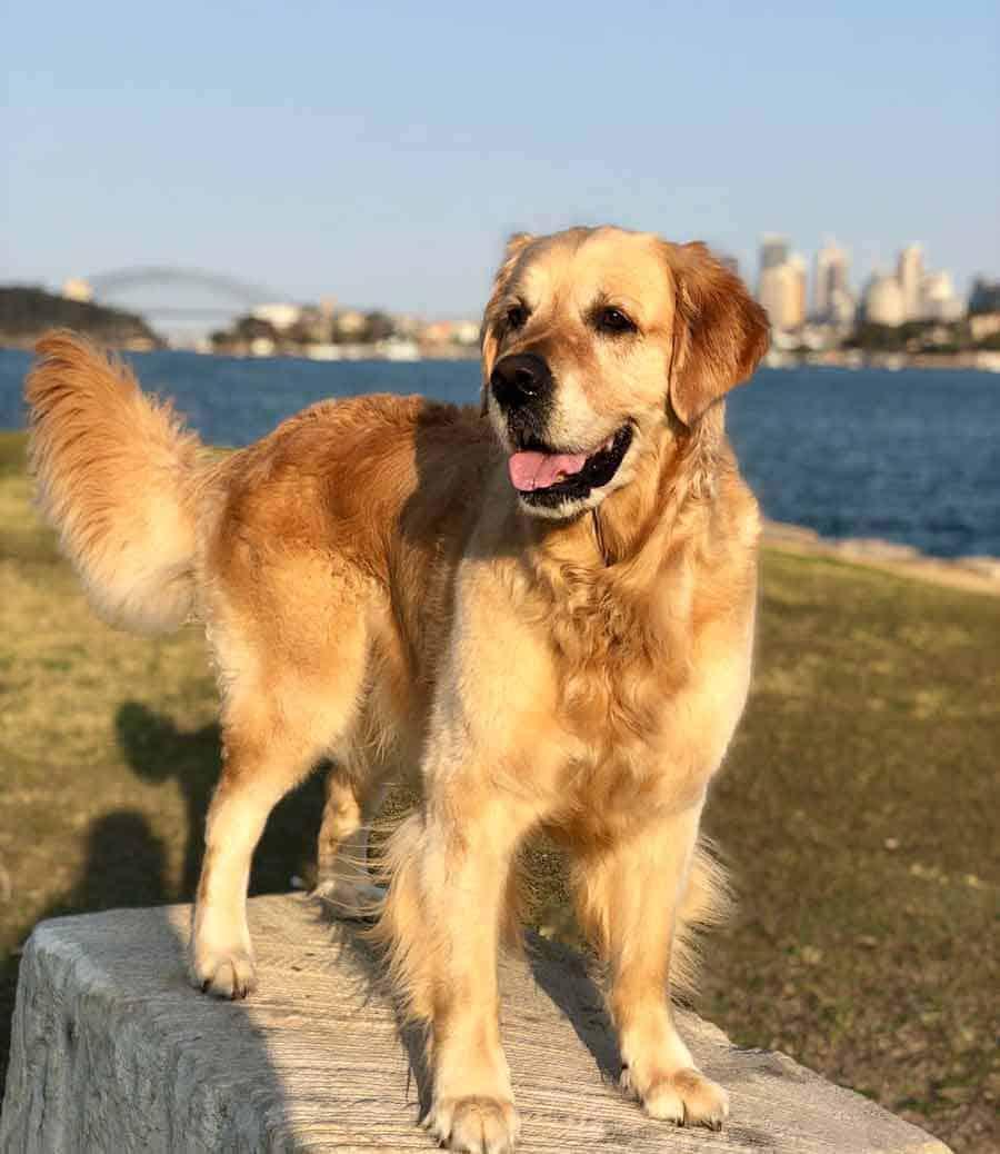 Dozer the golden retriever dog at Clarkes Point Sydney