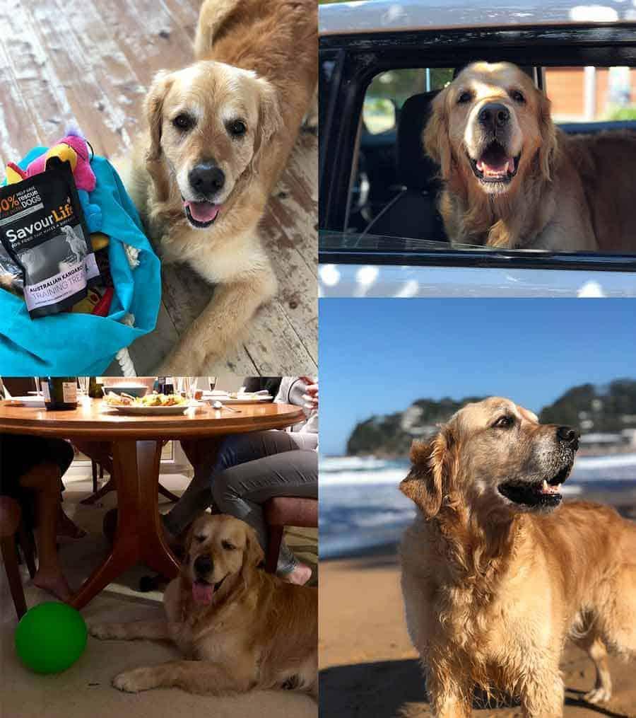Dozer the golden retriever dog at Avoca