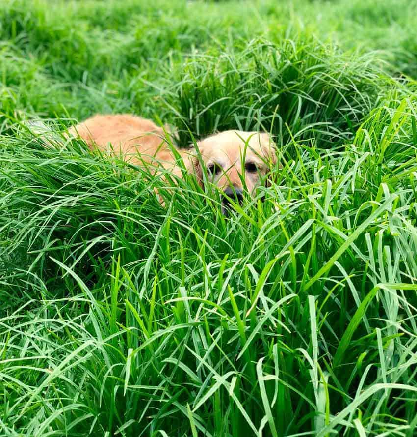 Dozer the golden retriever hiding in long grass