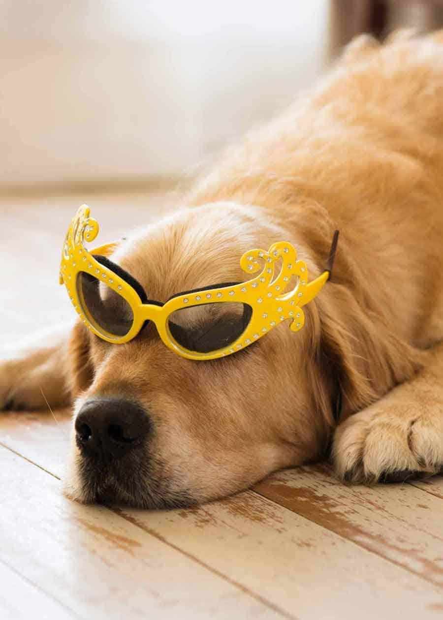 Dozer the golden retriever dog wearing onion goggles