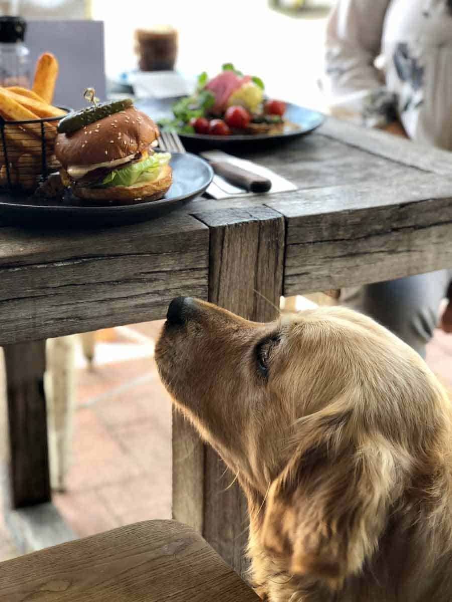 Dozer the golden retriever yearning for a burger