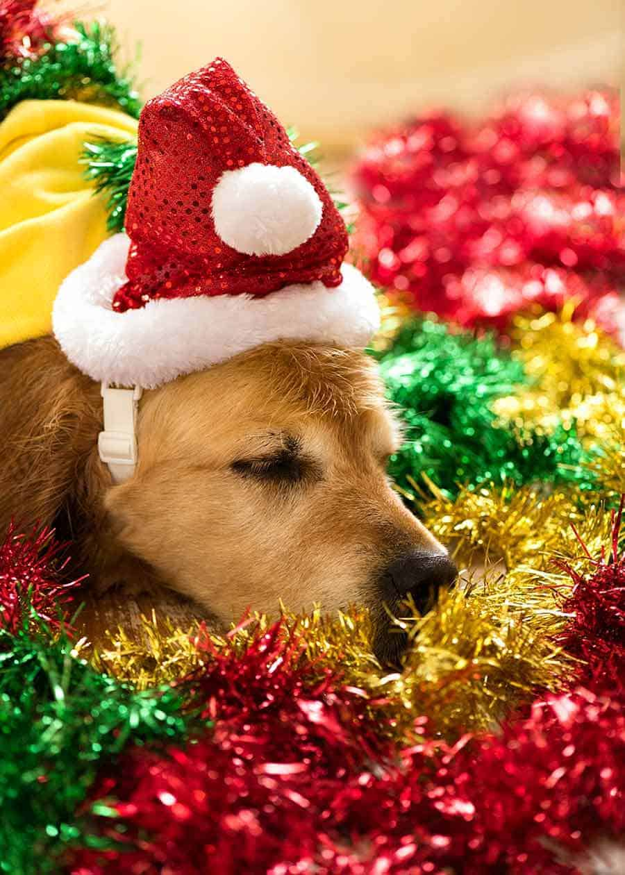 Dozer the golden retriever falling asleep in tinsel