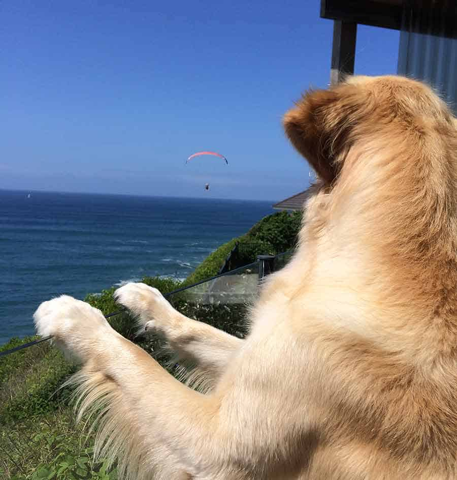 Dozer the golden retriever dog going bonkers over hang gliders