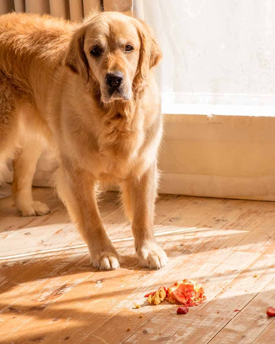 Dozer the golden retriever dog disbelieving that Strawberry Cheesecake dropped on the floor...