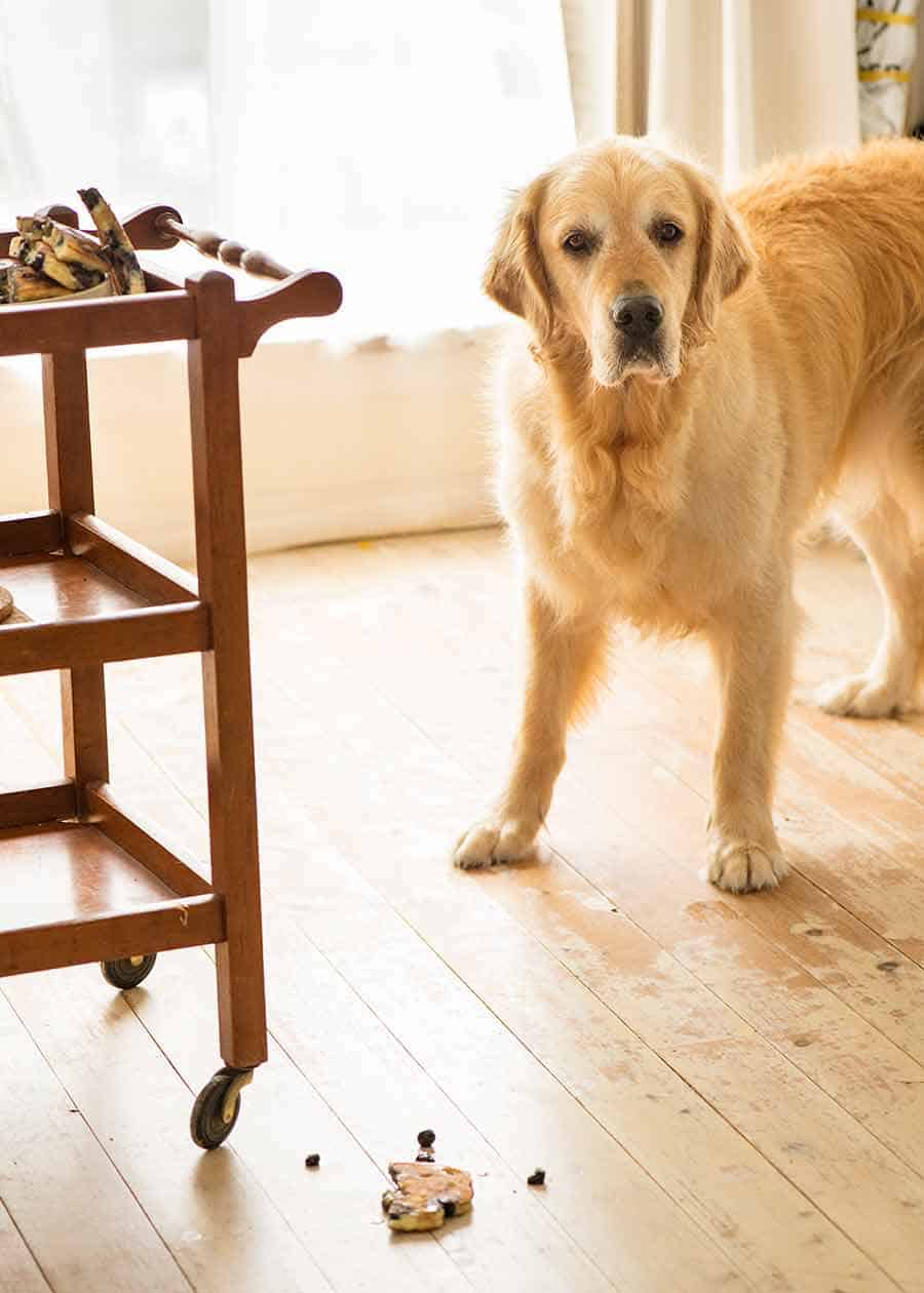 Dozer the golden retriever dog thought all his Christmas' had come at once when blueberry pancakes fell on the floor