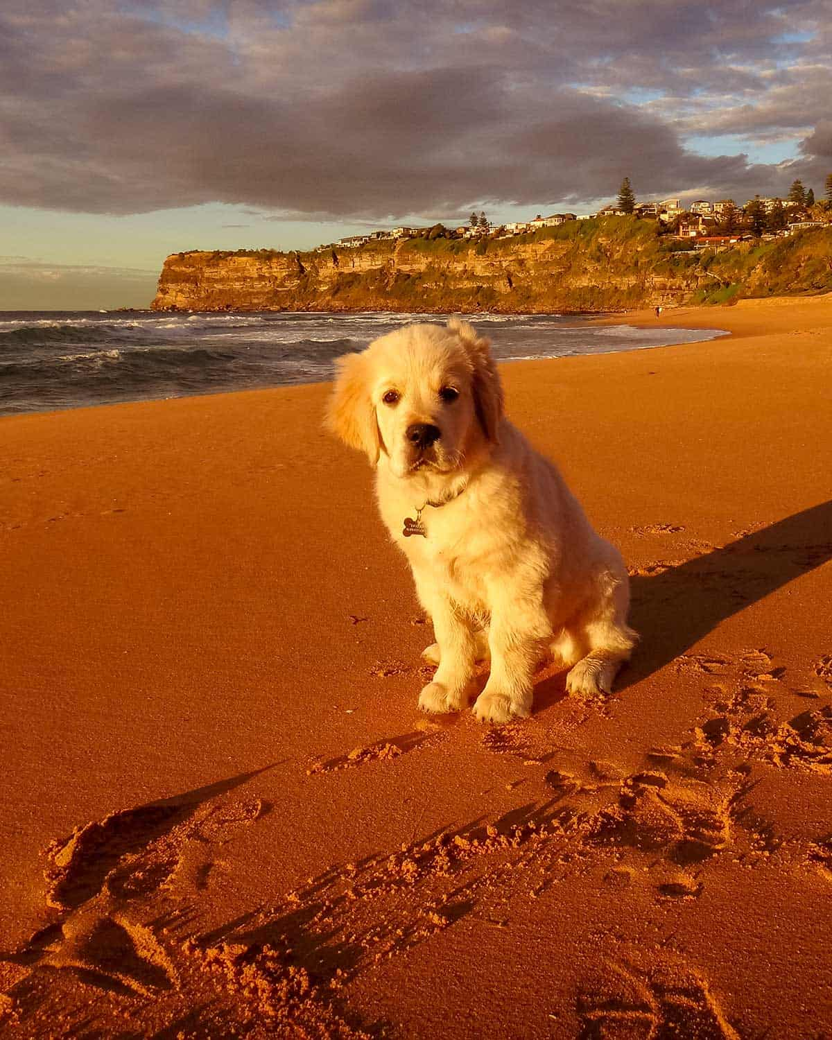 Dozer the golden retriever dog as a puppy on Bungan Beach