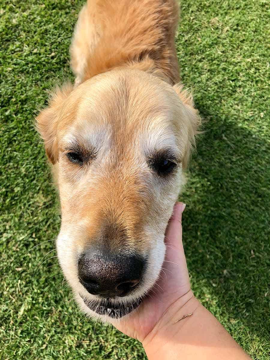 Lecturing Dozer_golden retriever dog