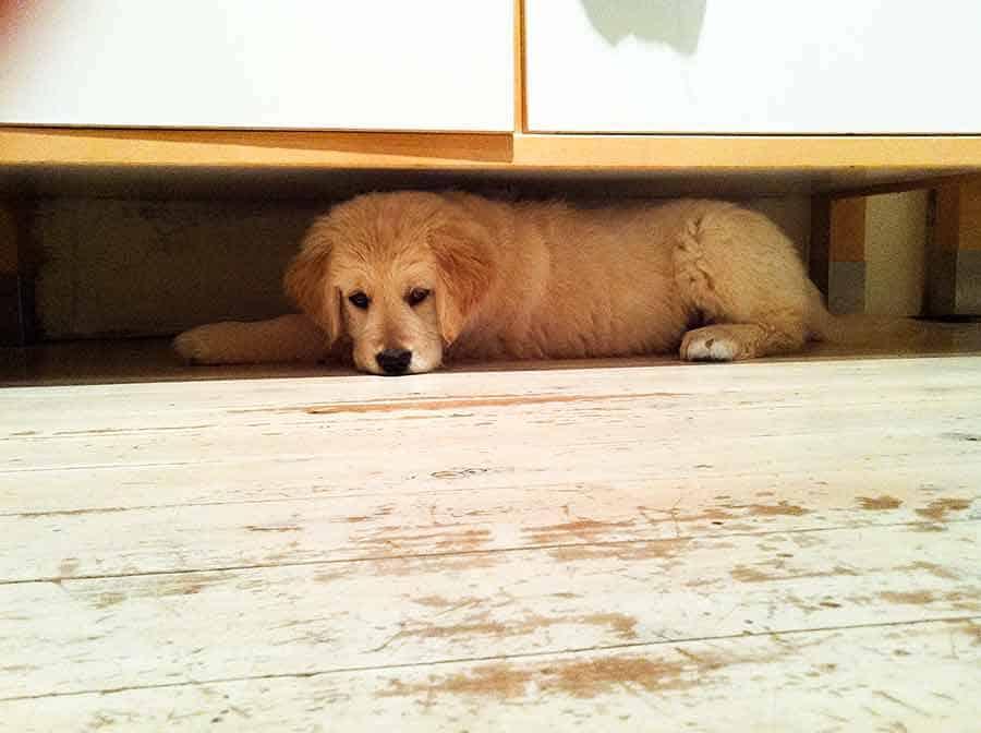 Dozer puppy under kitchen cabinet