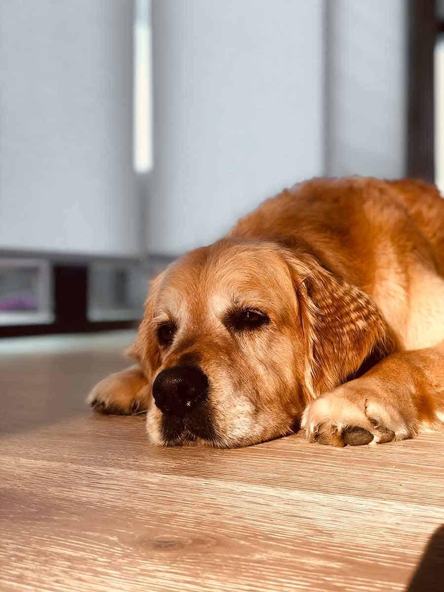 Dozer the golden retriever dog crimped ears Newport