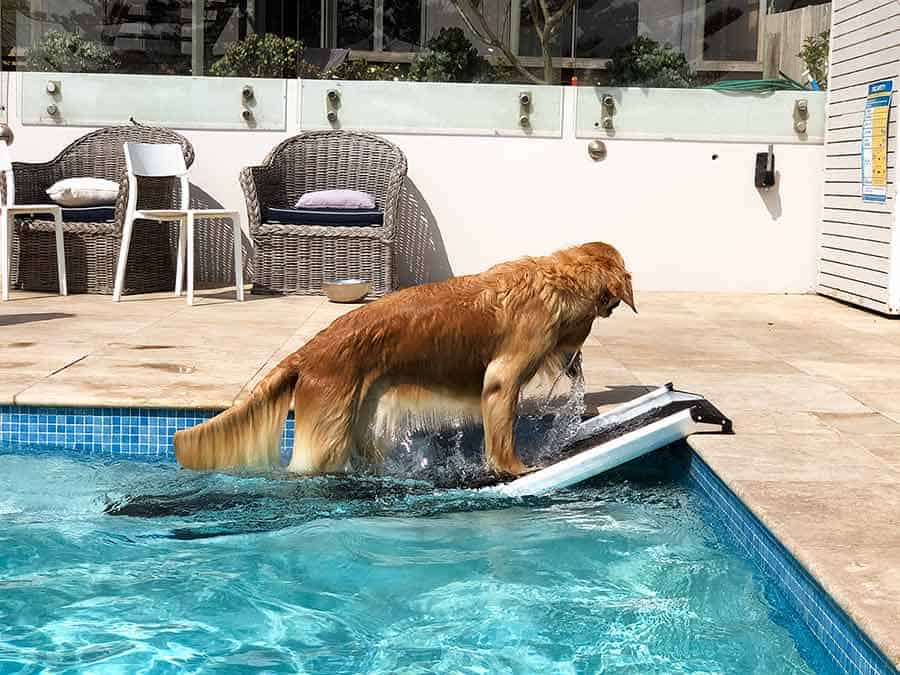 Dozer the golden retriever climbing out of pool ramp